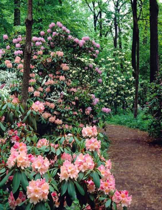 Azalea Woods at Winterthur, where eight acres of white, coral, pink ...