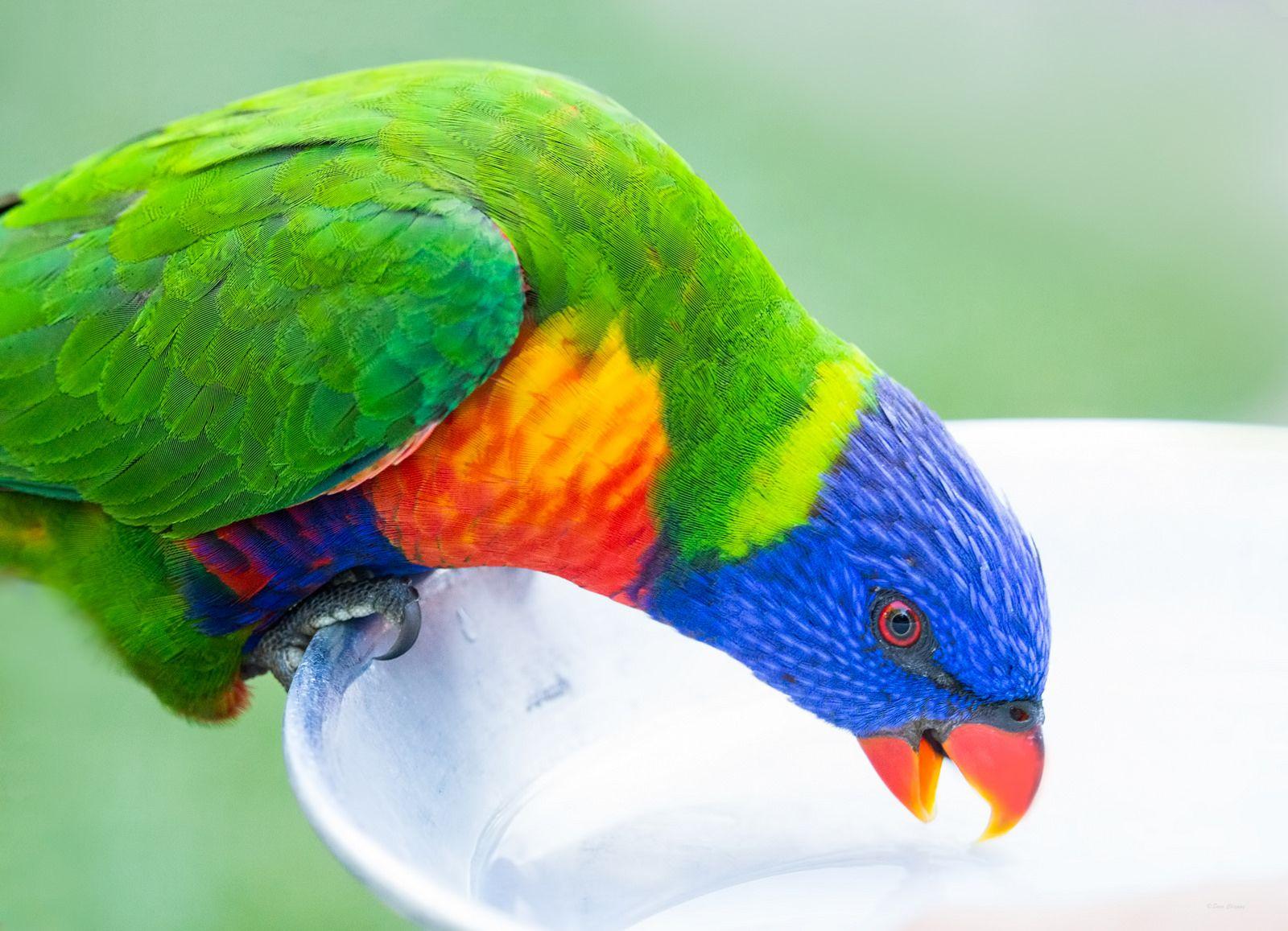 Feeding time for rainbow lorikeet feeding time wildlife