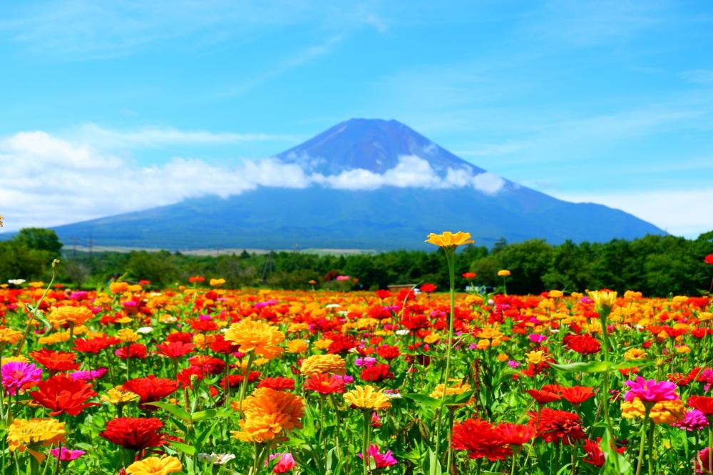 山梨県 湖 花畑 Google 検索 花の都公園 百日草 花