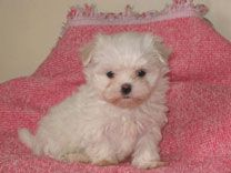 Maltese Maltese Puppy Cute Puppy Pictures Puppies