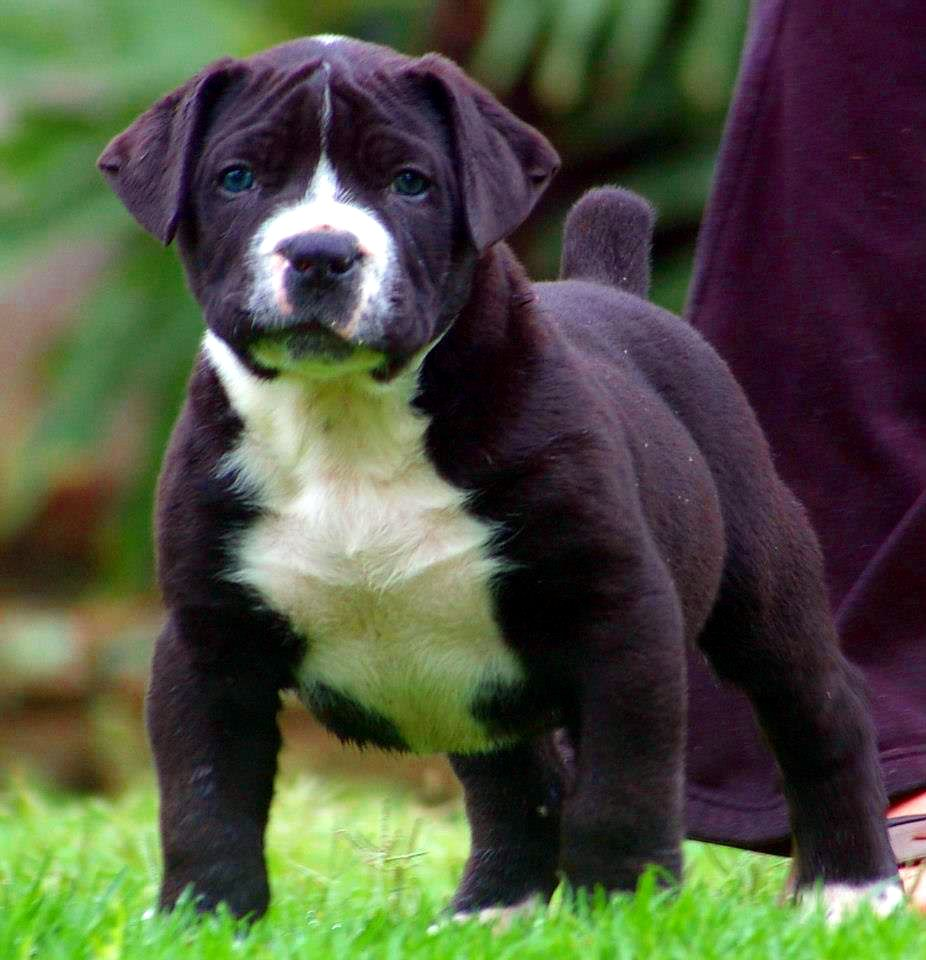 Black And White South African Boerboel Mastiff Puppy African