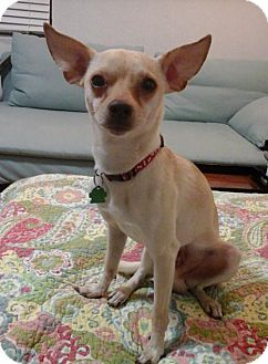 Fort Lauderdale Fl Chihuahua Italian Greyhound Mix Meet Rocko
