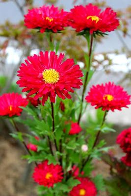 Red Aster Types Of Flowers Aster Flower Family Flowers