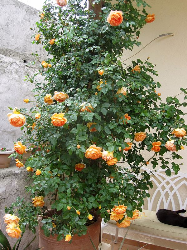 Growing Austin Roses In Containers In A Mediterranean