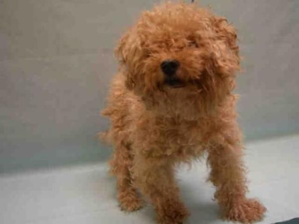 Poodle Maltese Dog For Adoption In New York With Images Dog Adoption Toy Poodle Rescue Dogs