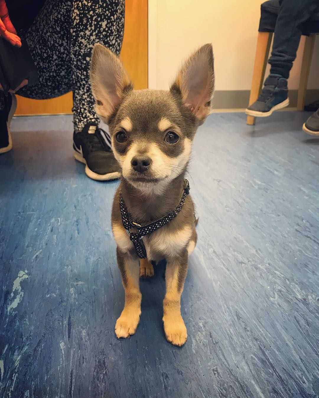 Hector Is A 4 Month Old Chihuahua Bet You Cant Guess How Much The