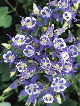 Aquilegia Blue And White Bluestone Perennials Blue Plants Deer Resistant Plants Blue And White