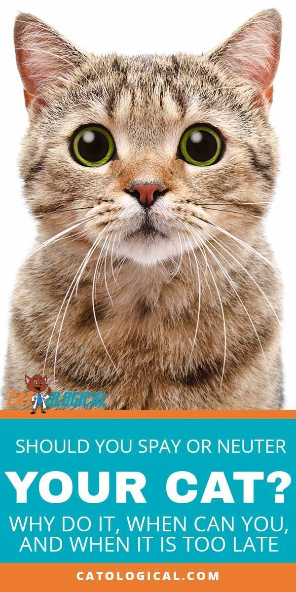 Cat Spaying And Neutering Recovery Timelines And What To