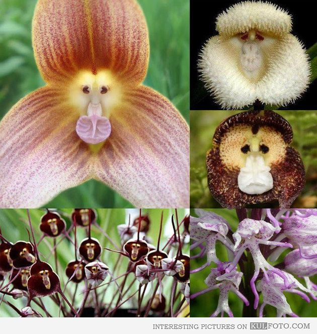Monkey Flowers - Monkey Flowers - These fascinating varieties of orchids strongly resemble monkeys.