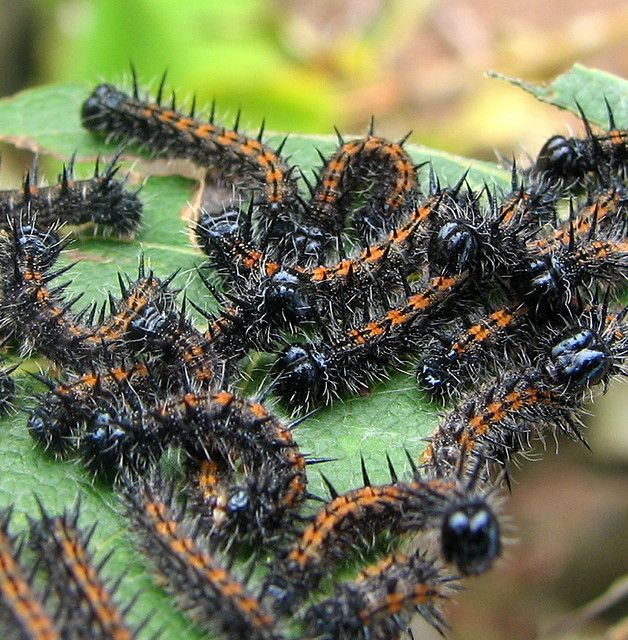 green poisonous caterpillars with black in pa - 628×640