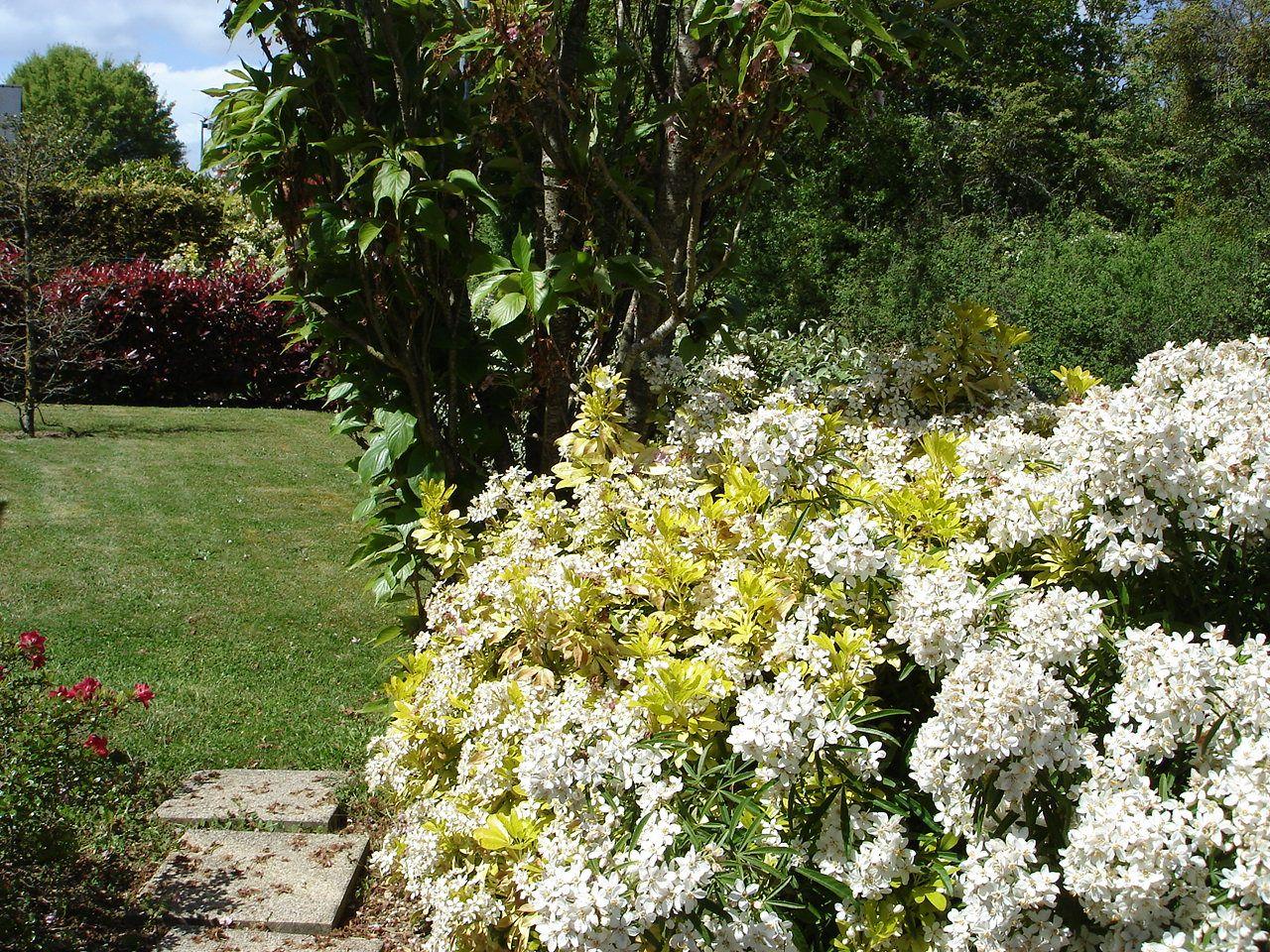 Oranger du mexique jaune et vert aux fleurs odorantes les fleurs du jardin pinterest - Oranger du mexique feuilles jaunes ...