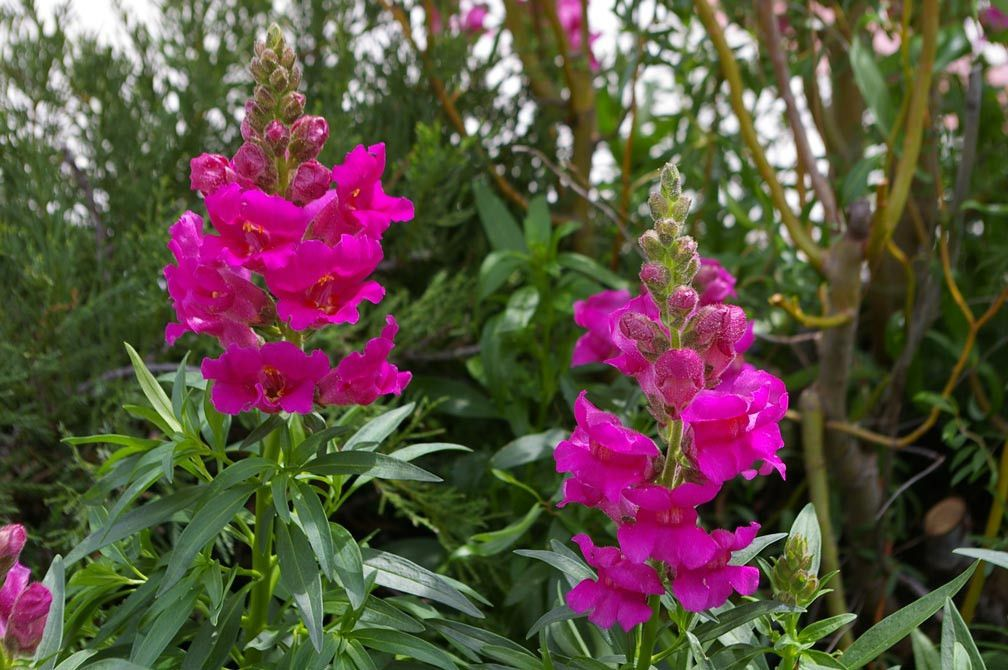 Snapdragon Seeds Liberty Classic Flower seeds