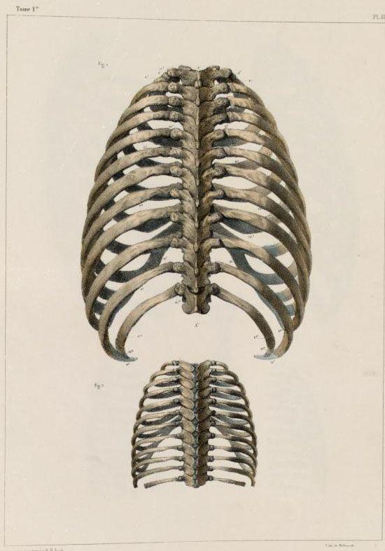 Ribs and thoracic vertebrae of an adult and infant, Traité complet de l'anatomie de l'homme