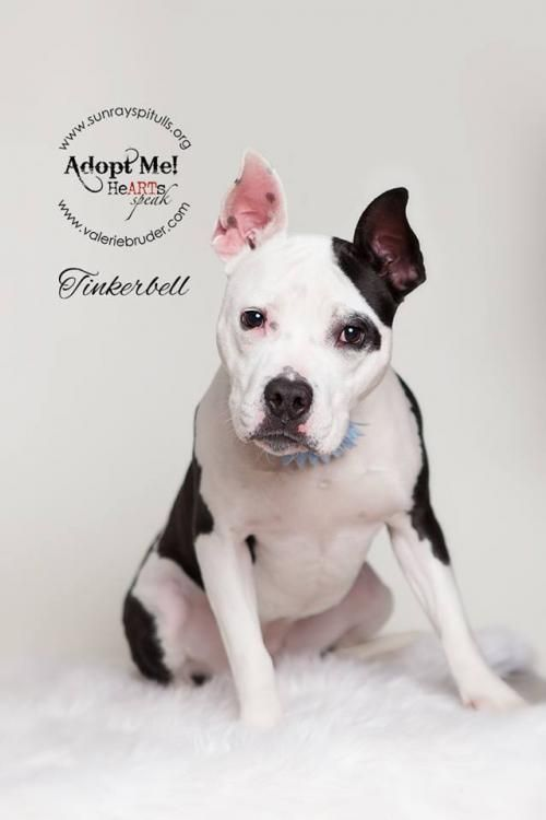 Meet Tinkerbell, an adoptable Pit Bull Terrier looking for a forever home. If you're looking for a new pet to adopt or want information on how to get involved with adoptable pets, Petfinder.com is a great resource.