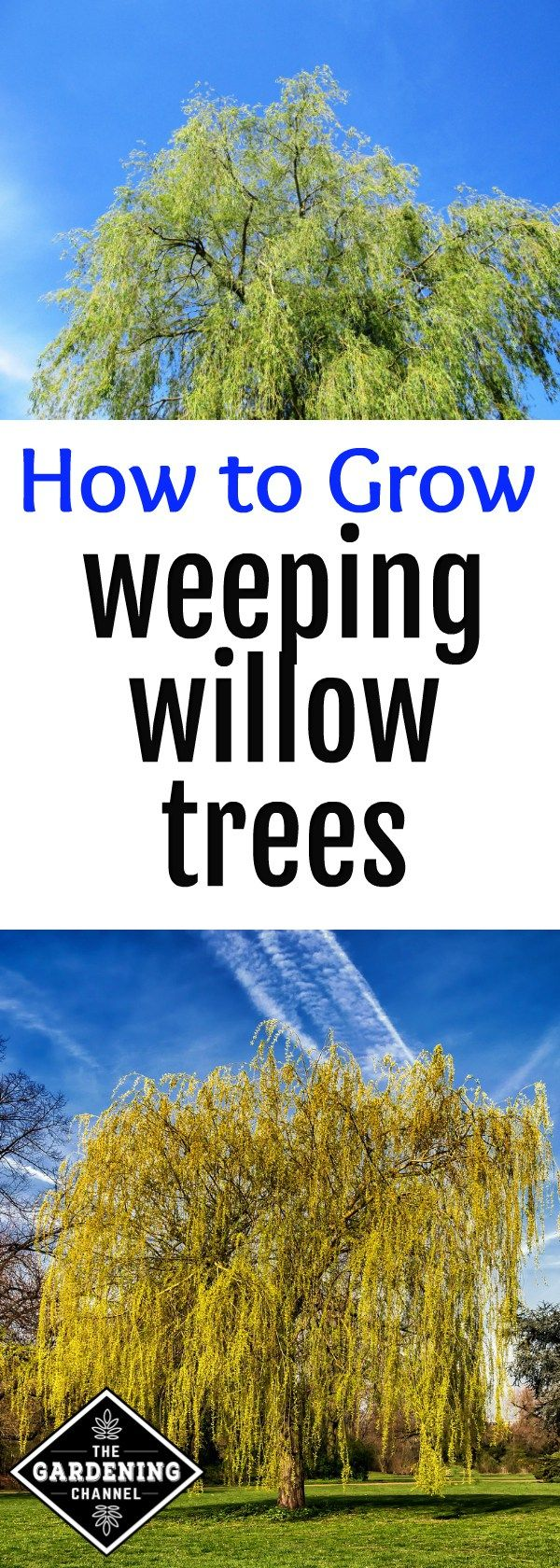 How to Grow Weeping Willow Trees | Willow tree art ...