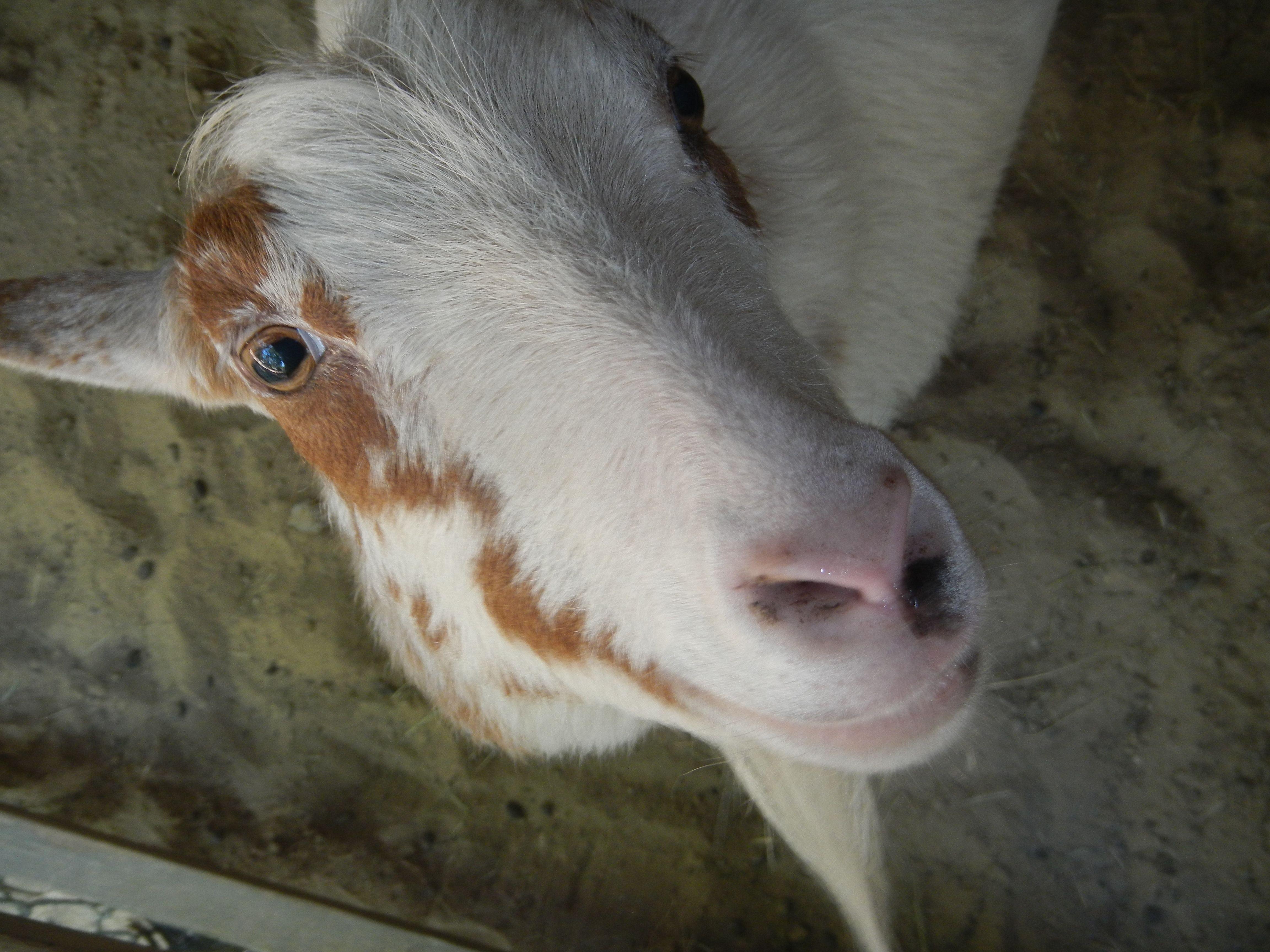 ian dwarf goats horns more information zone kev717 info pin by samantha ian dwarf goats horns