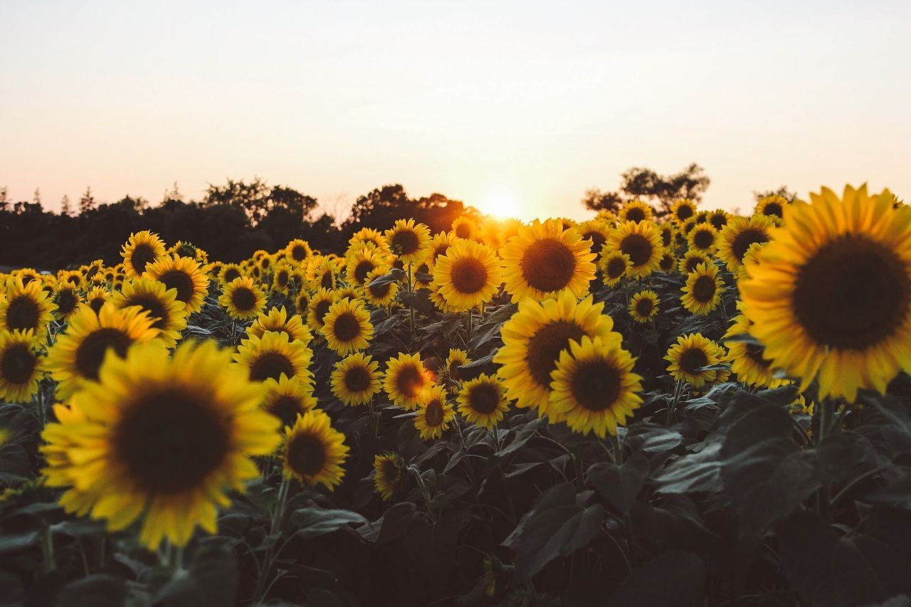 Image result for sunflower desktop Computer wallpaper