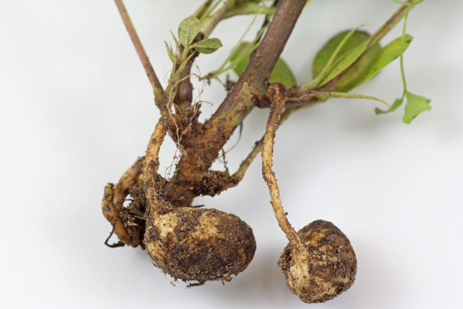 Erdnusspflanze Erdnusse Anbauen In 2020 Pflanzen Erdnuss Erde
