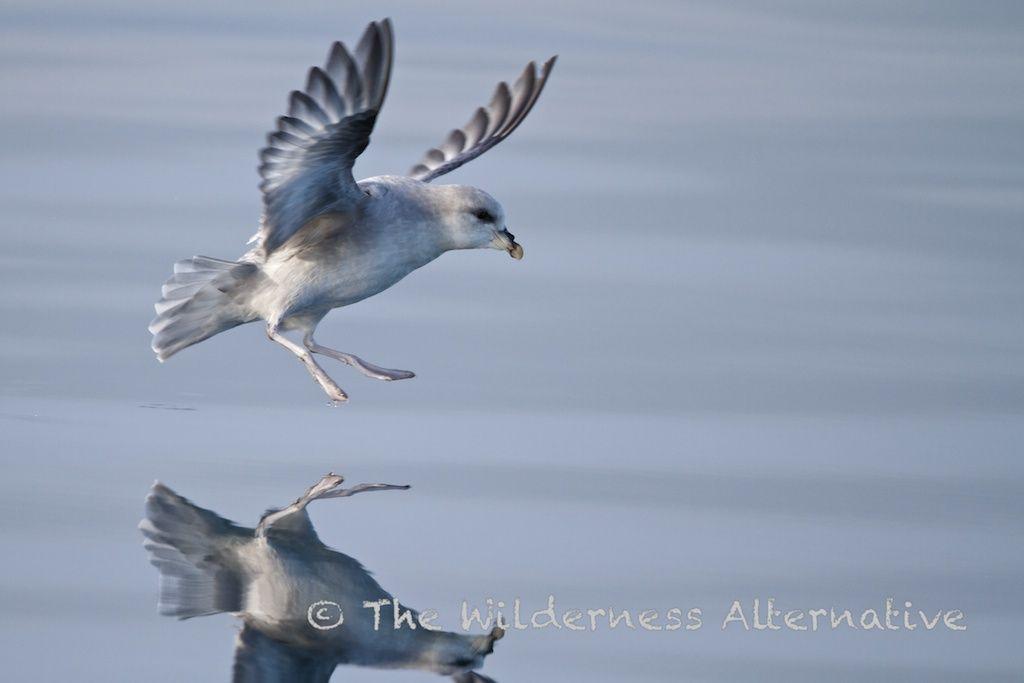 svalbard-birds-6.jpg (1024×683)