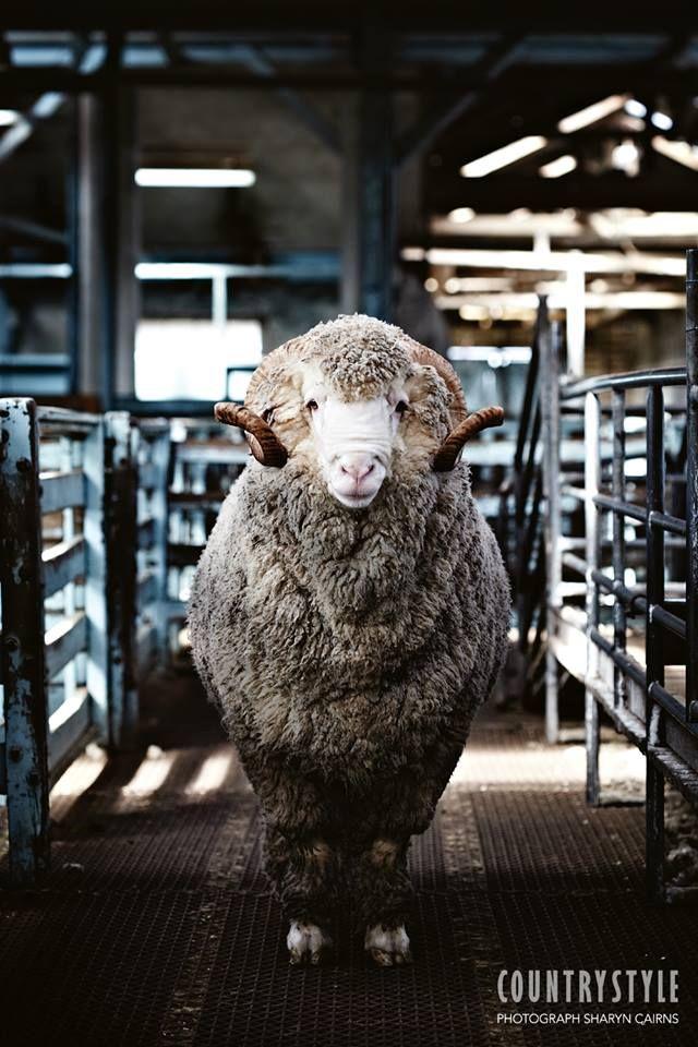 Where Is Everyone Australian Sheep Animals Merino Sheep