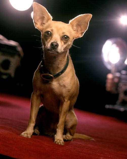 Gidget The Taco Bell Dog Chihuahua Love Baby Chihuahua