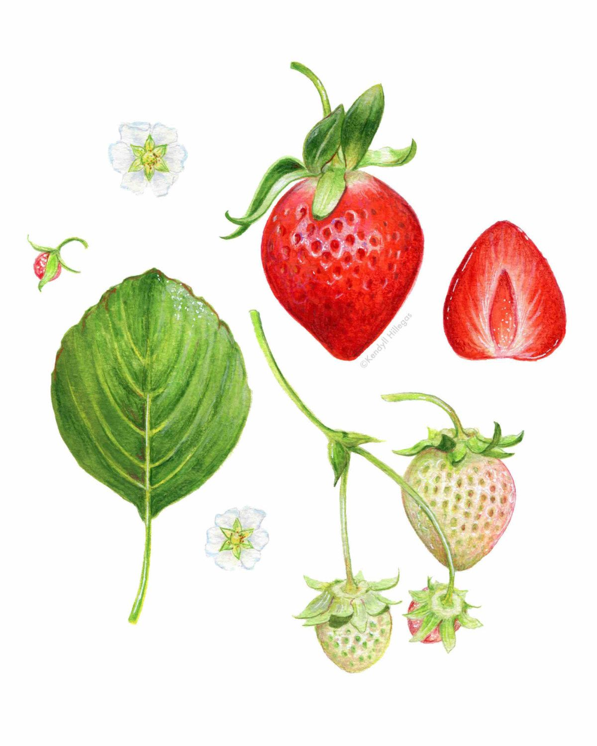 Strawberry Scientific Illustration // Botanical Art Print, Red ...