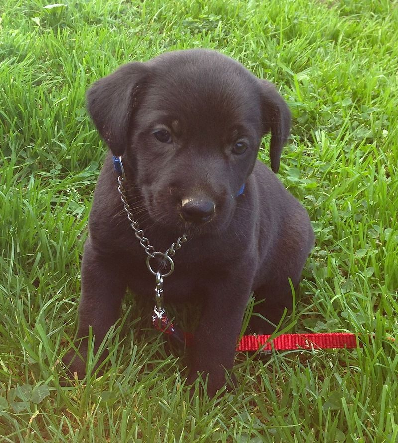 Adopt MIDNIGHT on Cute animals, Paws rescue, Shepherd