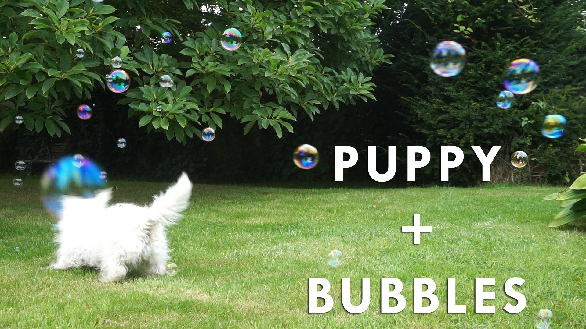 Puppy plays with bubbles hattie the westie nice pinterest plays