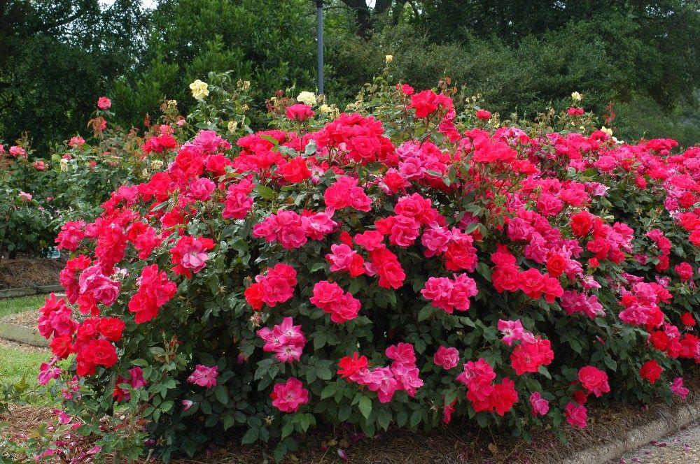 Google Image Result For Http Www Wilsonbroslandscape Com Rose Knockout Shrub Knockout Roses Double Knockout Roses Colorful Landscaping