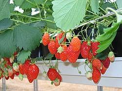 La culture de fraise se jette l eau chambre d 39 agriculture de picardie hydroponie - Chambre d agriculture de picardie ...