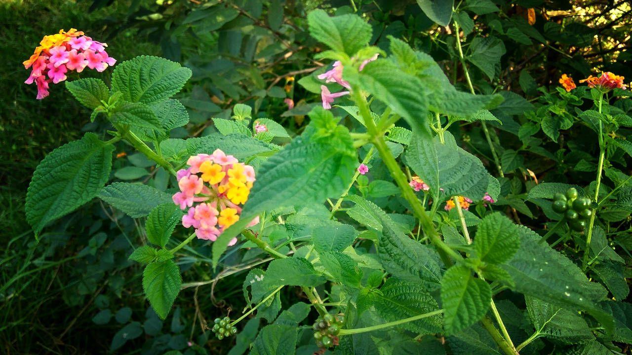 Tanaman Tembelekan Medicinal Plants Lantana Lantana Camara