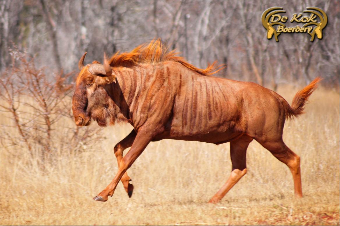 """Golden Wildebeest named """"King Thuli"""" at Karibu Stud in"""