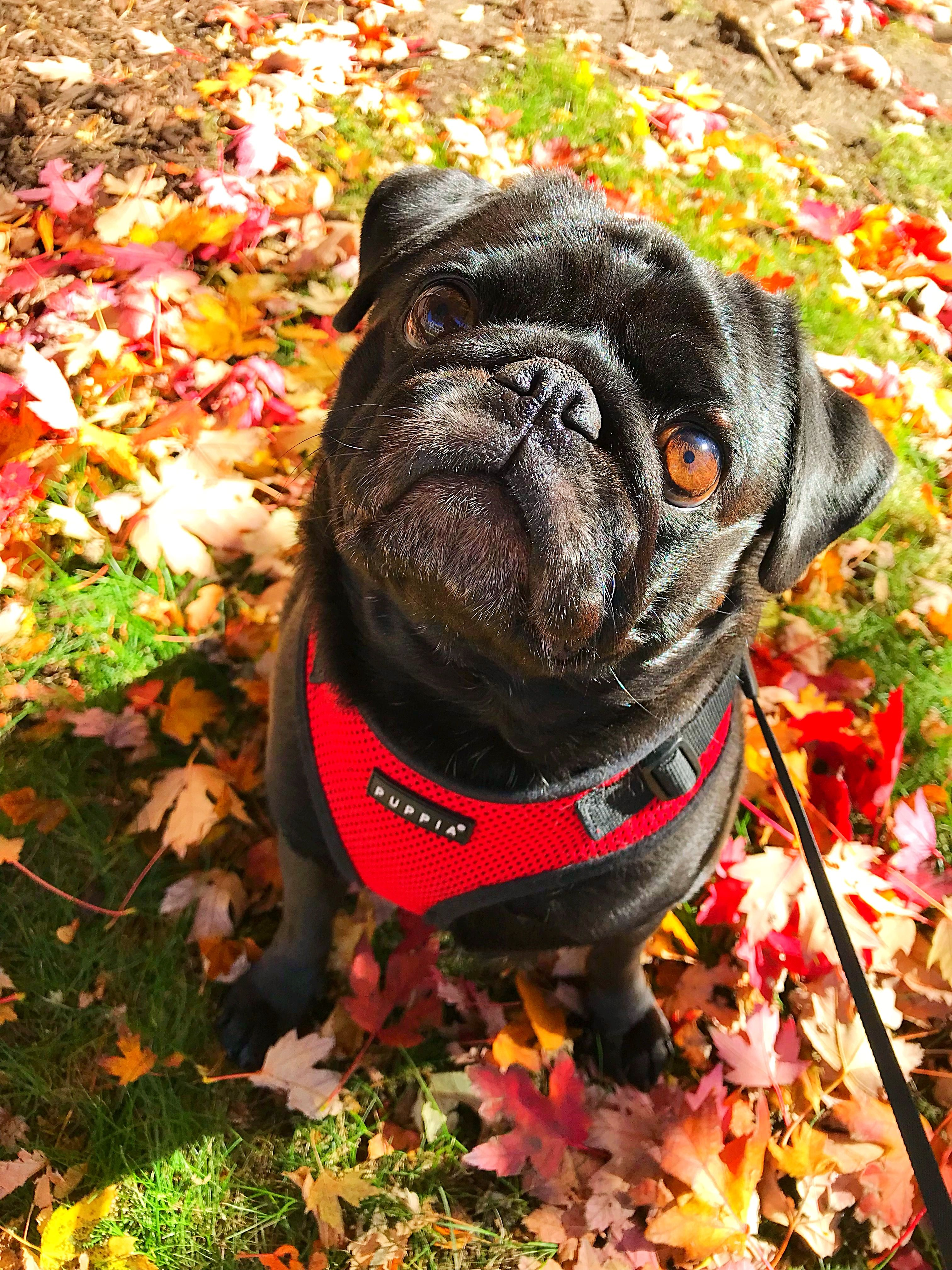 Autumn Pug Pugs Fall Dog Pictures Pug Pictures