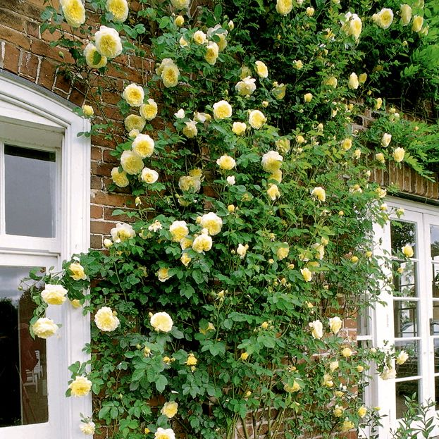 39 the pilgrim 39 1991 david austin rose roses. Black Bedroom Furniture Sets. Home Design Ideas