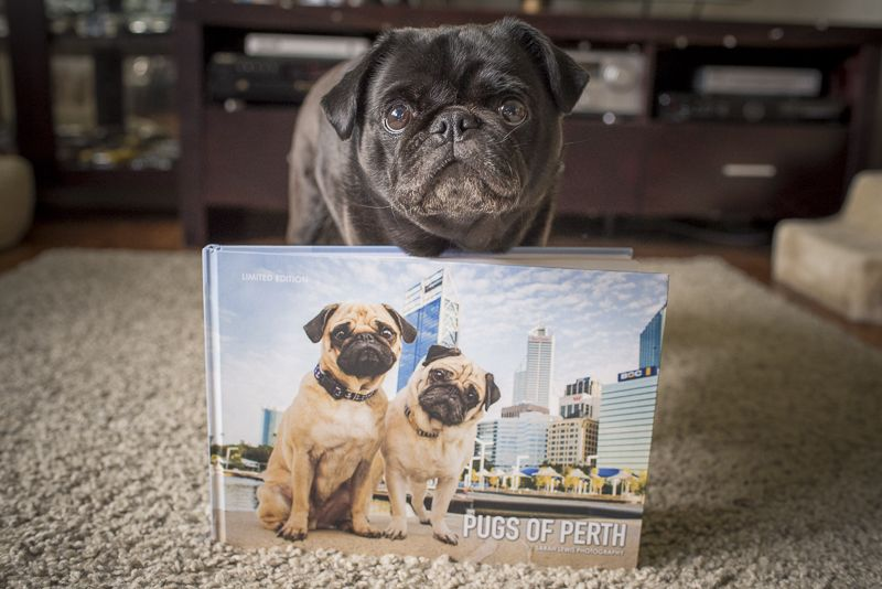 Review Pugs Of Perth Coffee Table Book Pugs Dogs Puppies