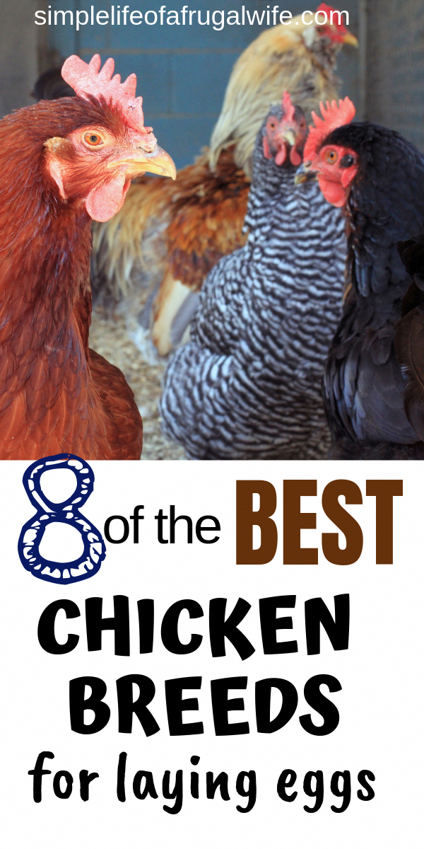 6 Things You Need to Know to Raise Chickens in Your ...