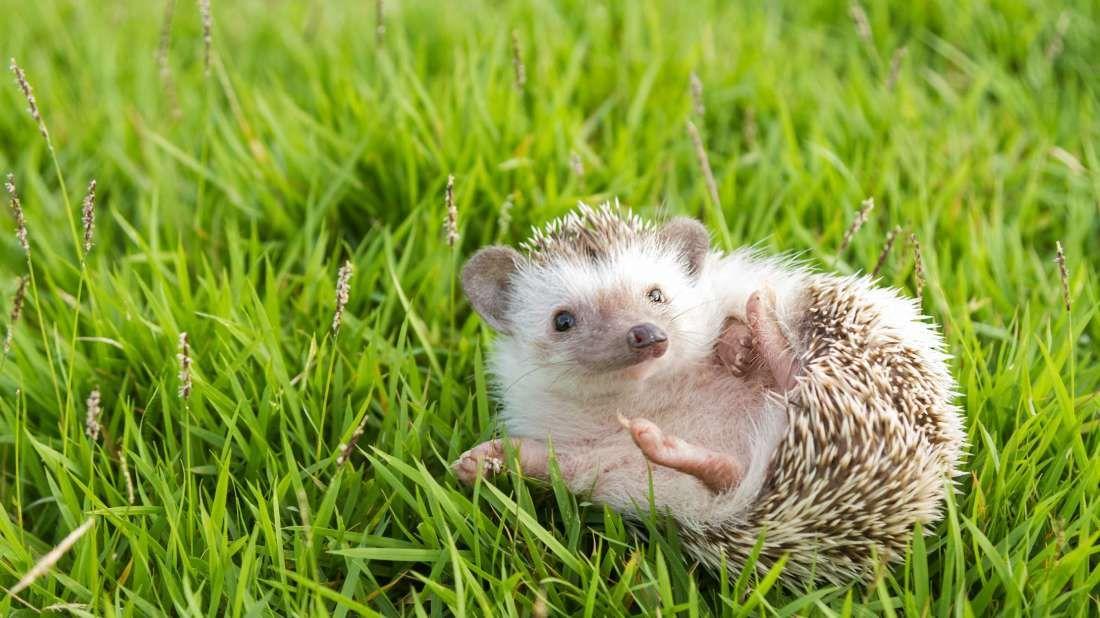 تفسير حلم رؤية القنفذ في المنام لابن سيرين والنابلسي القنفذ القنفذ المذبوح في المنام القنفذ في المنام Cute Animal Videos Hedgehog Animal Animals