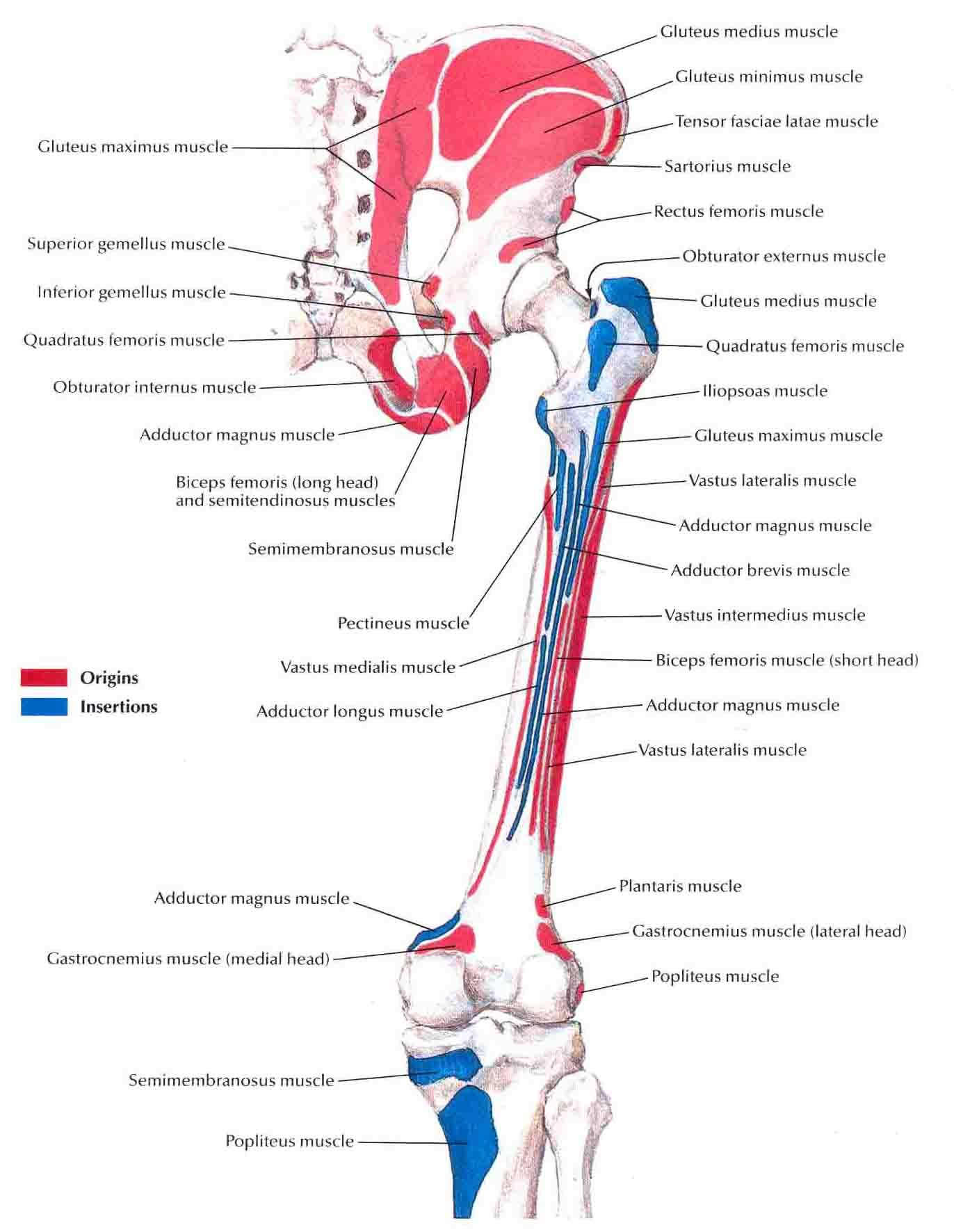 Bony Attachments Of Muscles Of Hip And Thigh Posterior