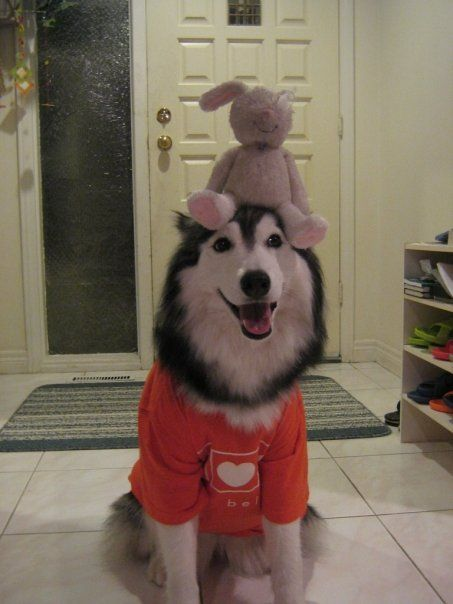 Tally, the husky raised by cats!