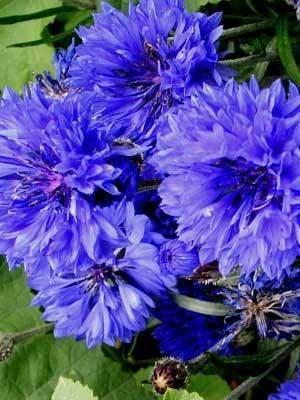 100 Heirloom Bachelor Button Centaurcea Cyanus Seeds Bachelor Button Flowers Bachelor Buttons Flower Seeds