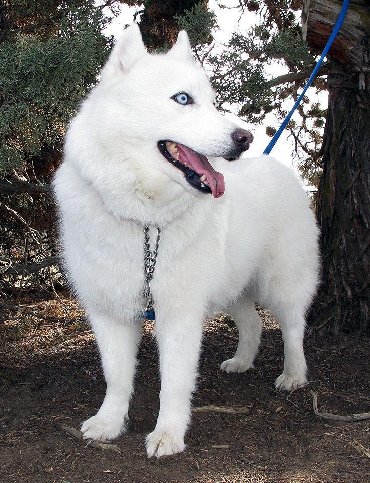 Adopt Emma On Husky With Blue Eyes White Husky Siberian Husky Dog