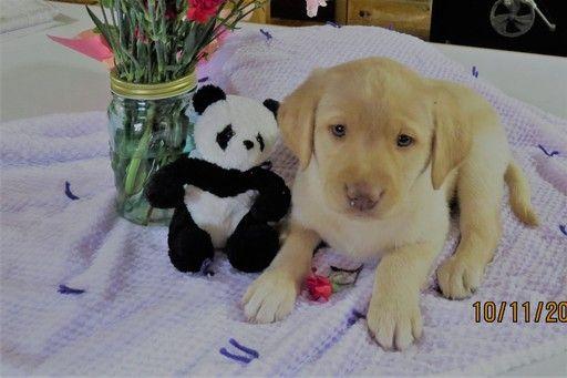 Litter Of 7 Labrador Retriever Puppies For Sale In Tustin Mi Adn
