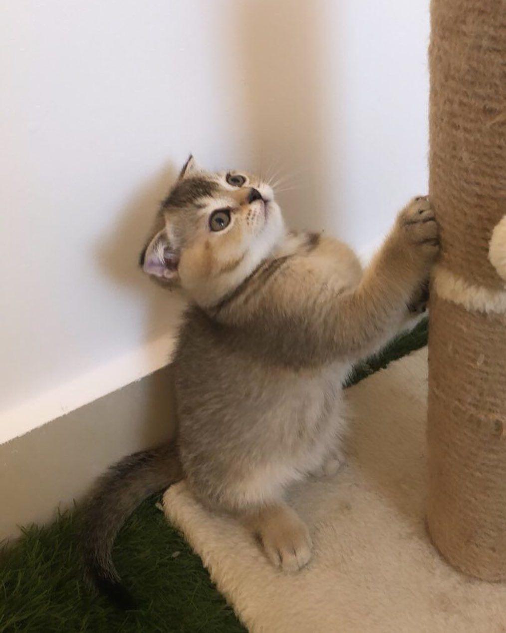Golden Cat ماشاءالله تبارك الله من انتاجنا ذكر سكوتش فولد بيور من ام واب وارد من إسكتلندا F Cats Animals