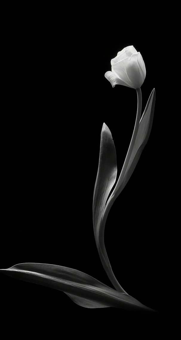 Black Tulip Wallpapers