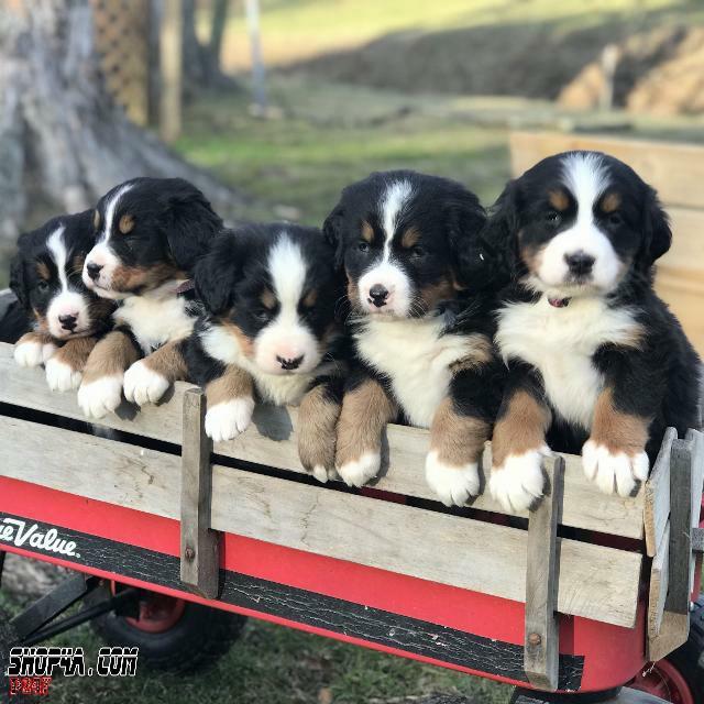 Bernese Mountain Dog Puppies In 2020 Bernese Mountain Dog Puppy Cuteness Overload Animals Puppies