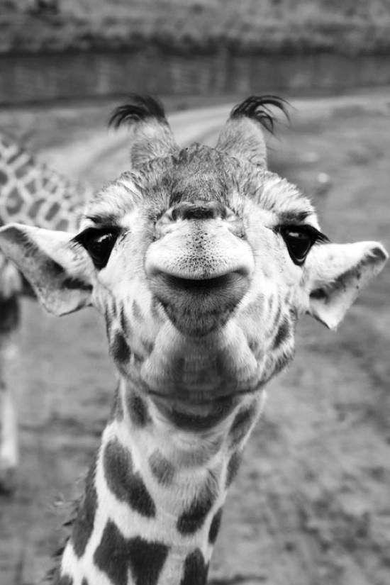 Que cara de Girafa você tem!