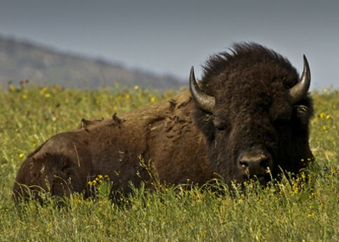 Image result for bison relaxing