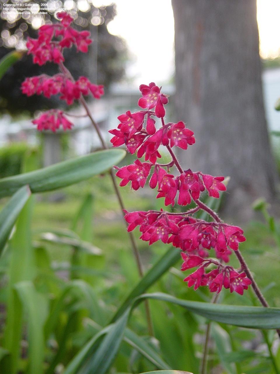 alumroot aka coralbells plants non toxic to dogs pinterest sun. Black Bedroom Furniture Sets. Home Design Ideas