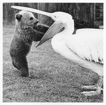 A gift from a Pelican to a small bear cub.