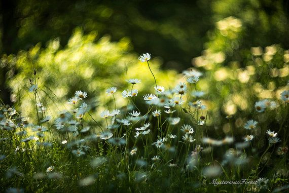 White daisy photography Summer meadow flowers by MysteriousForests
